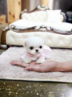 Maltese, one of the top 5 longest living dog breeds