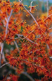 Arbustos de floración invernal4