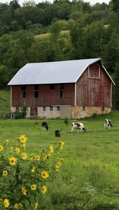 This barn may need a little TLC but i don\'t think these cows could be much happier here!