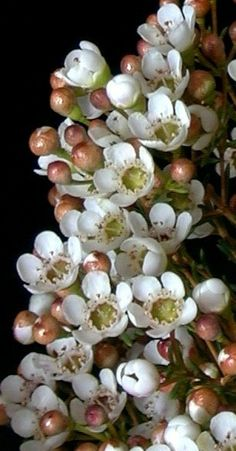Delicate wax flower - add lightness to bridesmaids bouquets and table centres. Also great for the flower crowns for your flower girls. Tiny flowers with a lovely citrus scent, hints of deep pinks / reds in the unopened flowers Cascading Flowers, Wax Flowers, Tiny Flowers, Types Of Flowers, Sugar Flowers, Amazing Flowers, Beautiful Flowers, Green And Burgundy Wedding, Floral Wedding