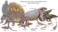 Littlecrotonian (Late Early or Early Middle Perminan) fauna of North America Temnospondyli --> Fayella (Dissorophidae), Slaugenhopia (Dvinosauria) Lepospondyli: Microsauria  --> Cymatorhiza  Lepospondyli: Nectridea --> Diplocaulus (Keraterpetontidae) Parareptilia: Procolophonia --> Macroleter (incertae sedis) Synapsida: Pelycosauria: --> Dimetrodon (Sphenacodontidae), Cotylorhynchus, Angelosaurus (Caseidae), Watongia, Varanodon (Varanopidae) Anapsida --> Rothianiscus (Captorhinidae