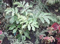 Melianthus major (honey bush), Sept 8