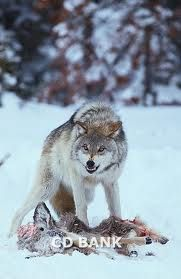 Stock-Foto : Gray Wolf Snarling over Deer Carcass Wolf Images, Wolf Photos, Tier Wolf, Angry Wolf, Bark At The Moon, Wolf Love, Wild Creatures, Animal Sketches, Wild Nature