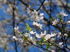 行ってきてよかった。湧水の里の彼岸桜【小山田彼岸桜樹林:新潟県】