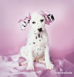 Daysha (Dalmatian) - Daysha is set to go now that her bows have been tied.  by Rachael Hale