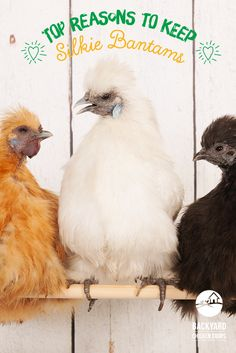 Silkie Chickens For Sale, Bantam Chickens, Pet Chickens, Backyard Chicken Coops, Chickens Backyard, Broody, Chicken Breeds, Exotic Pets, Duck Pond