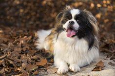 Cute Dogs Breeds, Small Dog Breeds, Small Dogs, Renaissance Time, Dog Dna Test, Prey Animals, Neapolitan Mastiffs, Coton De Tulear, War Dogs