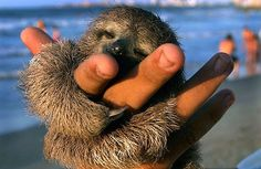 Two-toed sloth hug- the best kind