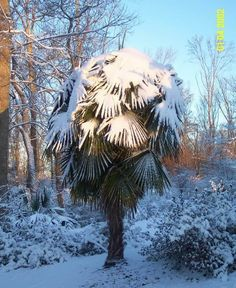 Windmill Palm - loves the cold