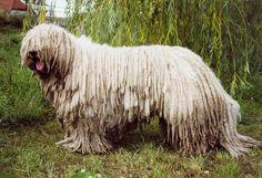 A big hairy Komondor dog