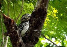 The spotted owlet (Athene brama) is a small owl which breeds in tropical Asia from India to Southeast Asia.