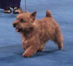 Norwich Terrier showing beautifully