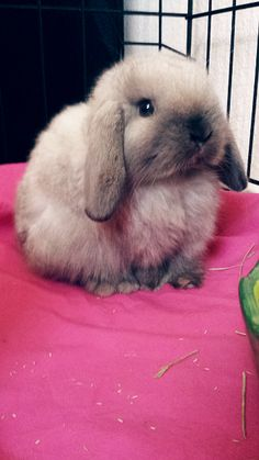My beautiful new Holland Lop Bunny! Her name is Sassafrass! by janis Cute Baby Bunnies, Funny Bunnies, Cute Babies, Animals And Pets, Funny Animals, Holland Lop Bunnies, Fluffy Bunny, Hamsters, Tier Fotos