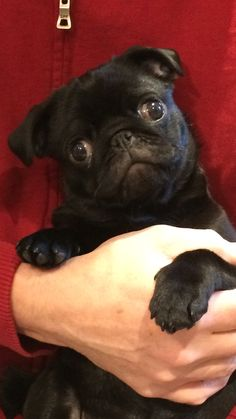 Baby Pugs, Pug Pictures, Black Pug, Cute Pugs, Cute Dogs And Puppies, Pug Love, French Bulldog, Gifts, Animals