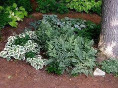 Brunerra Macrophylla Sorten Jack Frost und Dawson White