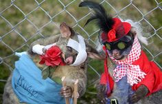 best dressed Dead possum competition