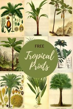 If you like the tropical plant trend in home decor at the moment you will love these gorgeous vintage botanical palm tree illustrations, free to print. Indoor Tropical Plants, Tropical Art, Palm Tree Art, Palm Trees, Plant Illustration, Botanical Illustration, Palm Tree Pictures, Nature Posters, Plant Art