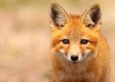 Red Fox...#55 | Flickr - Photo Sharing!  Photograph: Guy Lichter