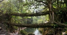 Deep in the rainforests of the Indian state of Meghalaya, bridges are not built, they're grown.     Ancient vines and roots of trees stretch horizontally across rivers and streams, creating a solid latticework structure strong enough to be used as a bridge.