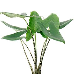 Large Satin potho - Hanging Plant, air purifying house plants , Vine Plant , Live Plant Easy Care P Exotic Plants, Green Plants, Tropical Plants, Cactus Plants, Hanging Plants, Indoor Plants, Planting Succulents, Planting Flowers, Alocasia Plant