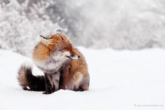 Photographer Captures Beautiful Wild Foxes Enjoying The Snow (Bored Panda) Animals And Pets, Baby Animals, Cute Animals, Beautiful Creatures, Animals Beautiful, Fox In Snow, Wolf Hybrid, Foxes Photography, Winter Photography