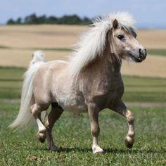 'Barak' the miniature horse
