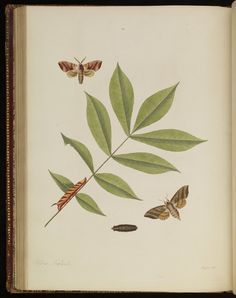 Plate 29 from The natural history of the rarer lepidopterous insects of Georgia. Including their systematic characters, the particulars of their several metamorphoses, and the plants on which they feed. Collected from the observation of Mr. John Abbot, many years resid · Smith, James Edward, 1759-1828 · 1797 · Albert and Shirley Small Special Collections Library, University of Virginia.