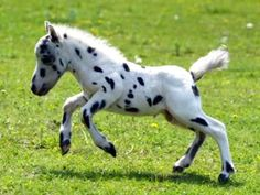 Falabella (the smallest breed of horse)