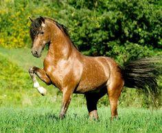 Pura Raza Española stallion. photo: Mark Barrett.