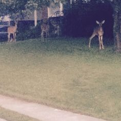 Walked out the house & saw these #deer