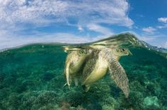 """MATING GREEN SEA TURTLES. Coral Tri Turtles © Jürgen Freund / WWF-Canon.  Sipadan Island, Malaysia.    This split-level image of mating green turtles (Chelonia mydas) in the reef shallows is the cover shot for the newly-released book. """"The Coral Triangle,"""" printed in a limited run.    The book includes more than 400 photographs of a region of the ocean encompassing the waters of Indonesia, Malaysia, the Philippines, Papua New Guinea, Solomon Islands, and Timor-Leste."""