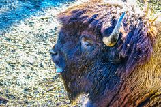 https://flic.kr/p/je2Pqk | Bison | Bison im Basler Zoo