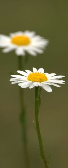 Ox Eye Daisies • photo: Brian Fuller