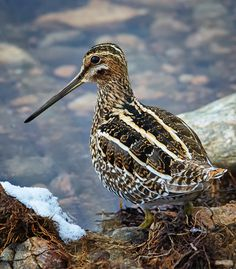 Snipe. 10th Jan 2015, Doxey. It's the stripes along the back that were so distinctive.