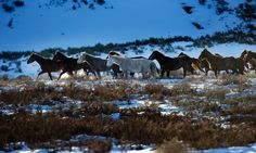 A herd of wild Brumbies grazes on the plains above Kiandra, in the Kosciuszko national park. Free Horses, Wild Horses, Brumby Horse, Horse Posters, Australian Animals, Snowy Mountains, Victoria Australia, Horse Breeds, Horse Art