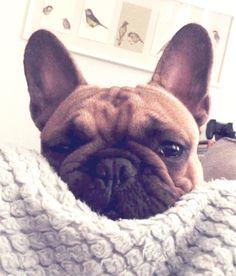 Ralph the French Bulldog ❤