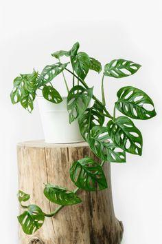Small Plants, Live Plants, Outdoor Plants, Garden Plants, Leafy Plants, Planta Alocasia, Plantas Bonsai, Decoration Plante, Plant Aesthetic