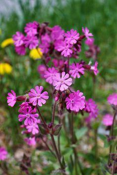 Silene dioica (L. (female) -W Wild Flowers Uk, Perennial Geranium, Grain Of Sand, Chelsea Flower Show, Zinnias, Flower Beds, Geraniums, Garden Styles, Flower Making