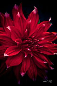 Dahlia in Red by Thomas Duffy, via 500px