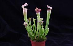 Sarracenia leucophylla - Plante carnivore