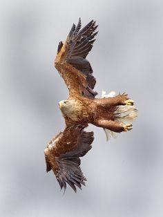 White-tailed Sea-eagle by *Jamie-MacArthur