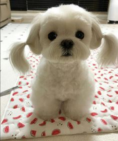 Maltese Pets Cute Puppy Pictures Cute Animals Cute Baby Animals