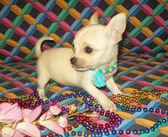 Dolittle Tiny Chihuahua's - breeder option