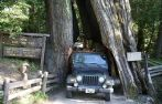 """Shrine Drive Thru Tree, Ave. of Giants/Garberville, Humboldt County, California.  There are three """"Drive-Through"""" Trees located on the North Coast. All are privately owned and a fee is charged to drive through. The closest one to Humboldt Redwoods State Park is the Shrine Drive-Thru Tree in Myers Flat, four miles south of the park visitor's center."""