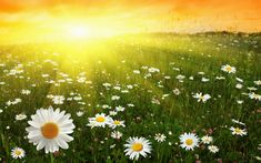 Find Flower Field Sunset stock images in HD and millions of other royalty-free stock photos, illustrations and vectors in the Shutterstock collection. Thousands of new, high-quality pictures added every day. Daisy Wallpaper, Love Wallpaper, Nature Wallpaper, Wallpaper Pictures, Crystal Palace, Shooting Studio, Bmw 320d, Daisy Field, Saloon