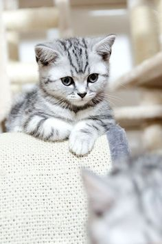 Adorable gray tiger kitten