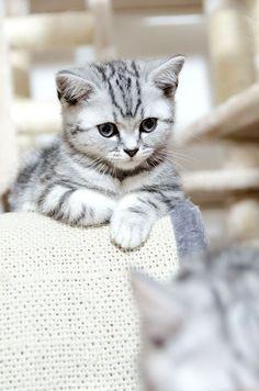 Adorable gray tiger kitten