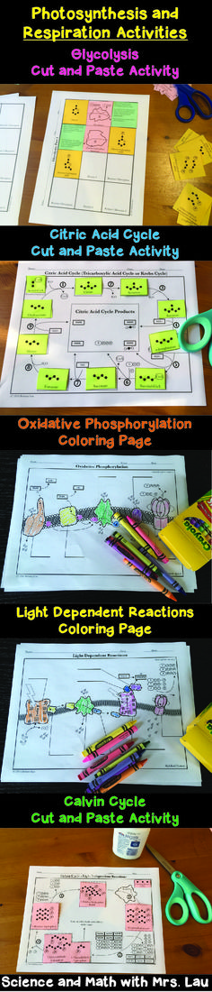 Photosynthesis and Respiration Activities for High School Biology: Coloring Pages and Cut-and-Paste Activities for Glycolysis, Citric Acid Cycle, Oxidative Phosphorylation, Light Reactions, and the Calvin Cycle! Science and Math with Mrs. Biology Classroom, Biology Teacher, Science Biology, Teaching Biology, Science Education, Ap Biology, Life Science, School Teacher, Teacher Stuff