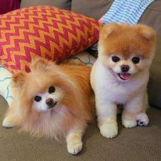 boo et buddy deux chiens mignons peluches vivantes 5   Boo et Buddy   web star spitz pomeranien photo peluche nain loulou de Pomeranie image...