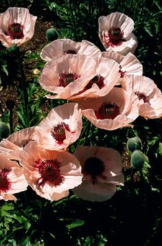 Papaver orientale 'Karine' (Poppy) - likes full sun, flowers late summer.